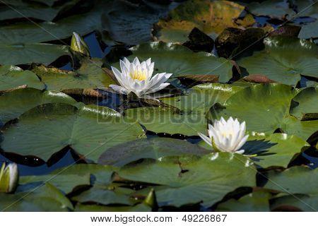 Pair Of Water Lilies.