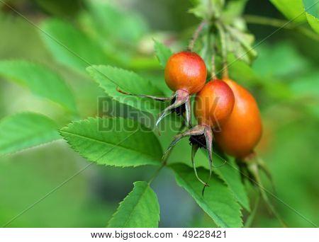 Fruit Of A Decorative Dogrose