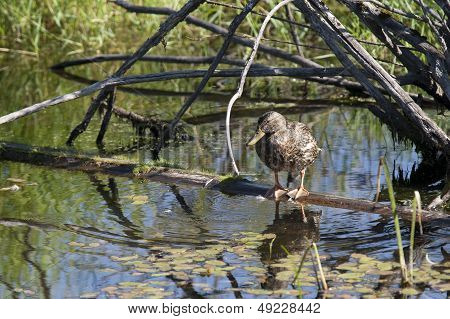 Duck Perched On Log In Water.