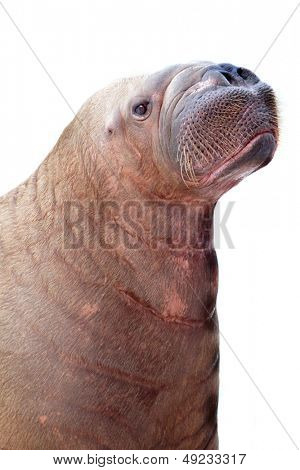 walrus portrait isolated on white background