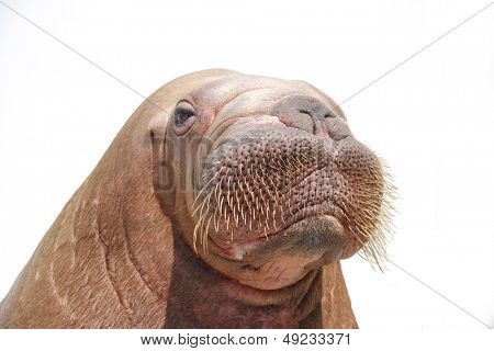 walrus isolated over white