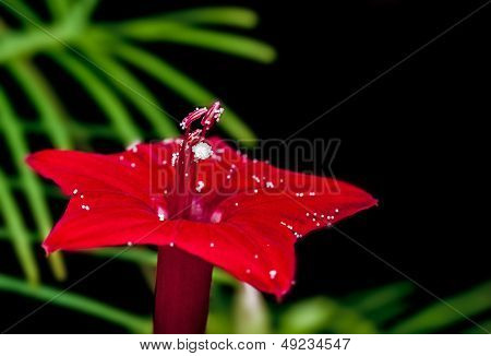 Ipomoea Quamoclit, Cypress Vine, Flower, Red, Isolated On black