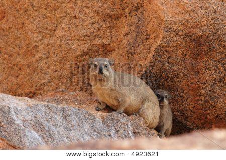 Rock Dassies (procavia Capensis)