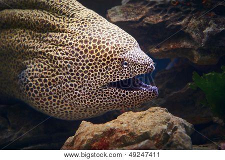 Honeycomb moray eel close-up (Gymnothorax favagineus )
