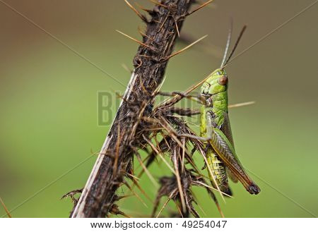 Common Green Gasshopper (Omocestus viridulus)
