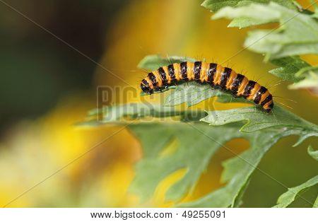 Cinnabar Moth Larva (Tyria jacobaeae)