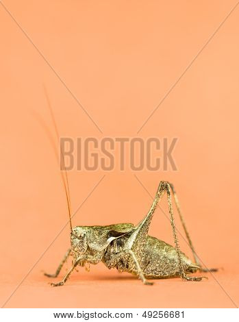 Long Horned Grasshopper Close Up