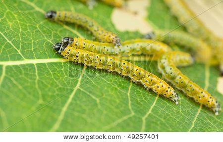 Sawfly Larva Close Up