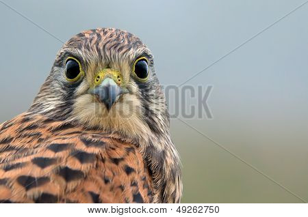 Kestrel, The Juvenile, Face To Face