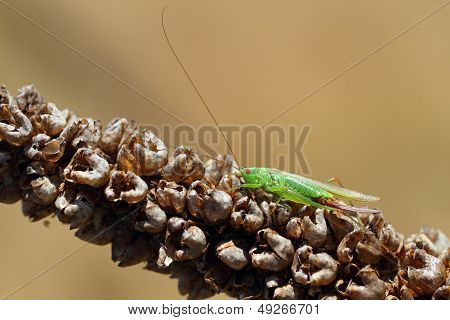 Long-winged Conehead (Conocephalus discolor)