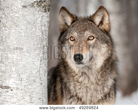 Grey Wolf (Canis lupus) Looks Up
