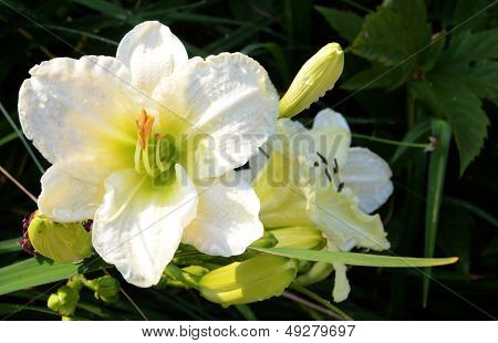 White Temptation Daylily