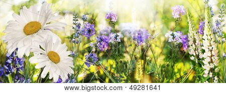 Chamomile and lavender. Flowers field at Sunset.