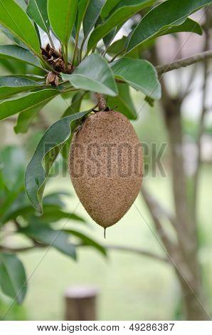 Brown Manilkara Zapota Fruit