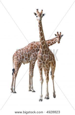 Giraffe Young Couple