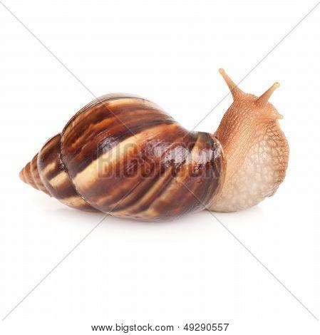 Big Brown Snail On White Background, Macro Photo