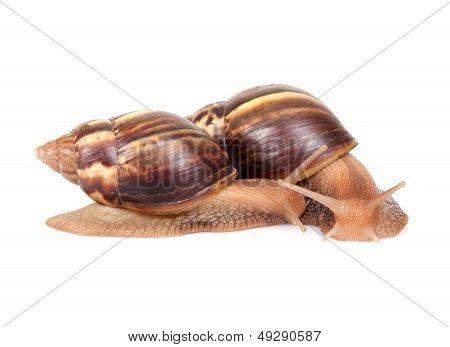Two Snails Crawl On White Background, Macro Photo