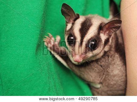 Portrait Of Small  Sugar Glider (petaurus Breviceps). Omnivorous, Arboreal Gliding Possum