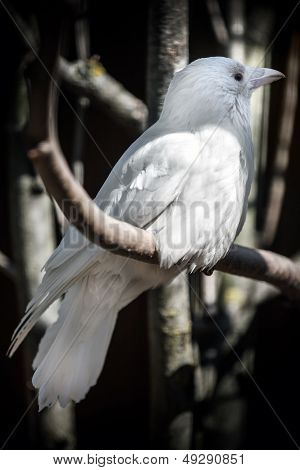 White Albino Crow Sits On Tree In The Forest. Classical Russian Metaphor Of Unusual