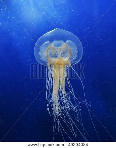 Swimming  Jellyfish On Blue Background