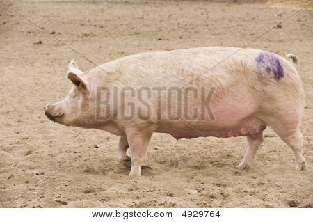 Large White Pig