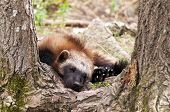 stock photo of wolverine  - The wolverine glutton carcajou skunk bear or quickhatch  - JPG