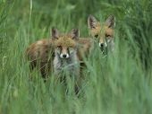 image of tall grass  - Two red foxes standing in tall grass - JPG