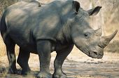 picture of endangered species  - Black Rhinoceros  - JPG