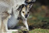 stock photo of kangaroo  - Joey Kangaroo with mother close - JPG