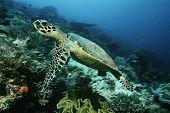 image of raja  - Raja Ampat Indonesia Pacific Ocean hawksbill turtle  - JPG