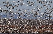 Flock of Snow Geese (Chen carelessness) in flight