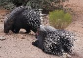 stock photo of mating animal  - A Close Portrait of a Pair of African Crested Porcupines Hystrix cristata
