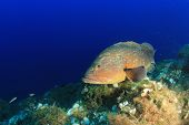 foto of grouper  - Dusky Grouper  - JPG