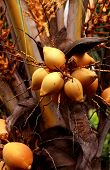 image of naturist  - Zoomed Close shot  of King Coconut Tree - JPG