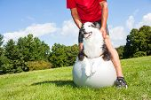 image of dog clothes  - A dog owner helps his dog with stretching tecniques on a Yoga ball in the park - JPG