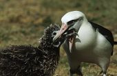 stock photo of albatross  - Laysan Albatross  - JPG