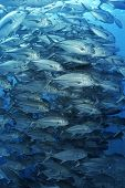 stock photo of school fish  - Large school of bigeyed trevally fish - JPG