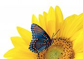 picture of blue butterfly  - Sunflower And Blue Butterfly isolated on white background - JPG