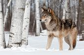 foto of lupus  - Grey Wolf  - JPG