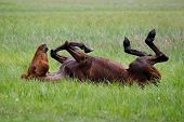 stock photo of fillies  - The horse is swinging in the grass after a bath - JPG