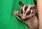picture of possum  - Portrait of small sugar glider  - JPG