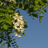 pic of locust  - Flowers of the Black Locust tree  - JPG