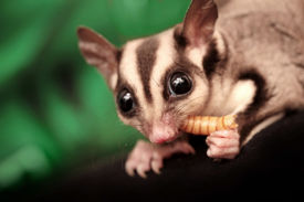 image of possum  - The sugar glider  - JPG