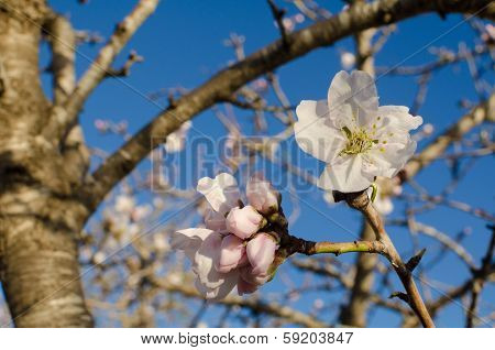 White Almond Flower
