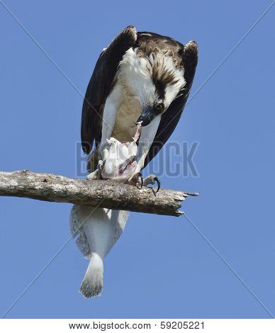 Osprey Feeding On Fish On A Tree