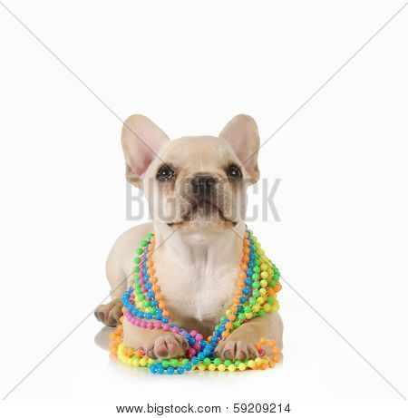 cute female puppy - french bulldog wearing colourful beads looking up isolated on white background
