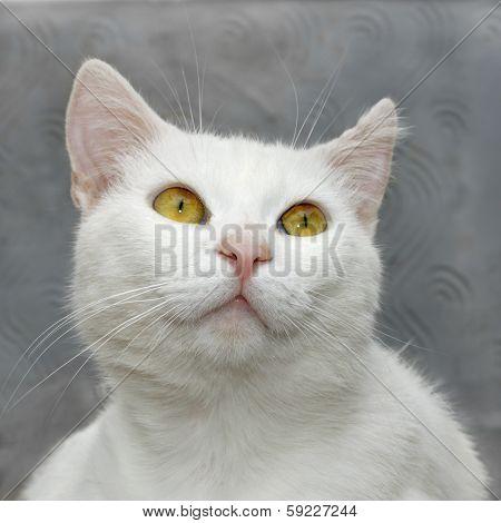 White Cute Cat