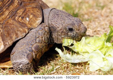 Tortoise Eating Lettuce Leaves
