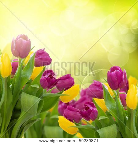 tulips flowers on colorful bokeh background