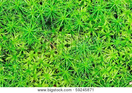 Big Juicy Shot Green Moss